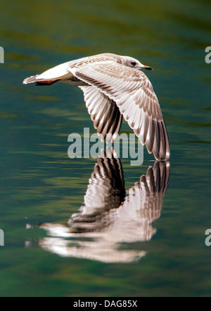 mew gull (Larus canus), juvenile flying closely over the water surface, Norway, Troms, Tromsoe, Prestvannet - Stock Photo
