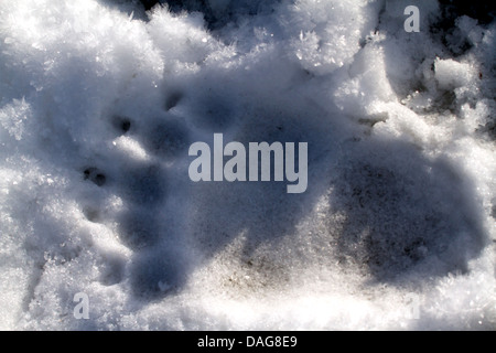 brown bear, grizzly bear, grizzly (Ursus arctos horribilis), imprint of a paw in the snow, USA, Alaska, Chilkat - Stock Photo