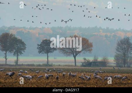 Common crane, Eurasian Crane (Grus grus), swarms over and on a stubble field in the resting area Oppenweher Moor, - Stock Photo