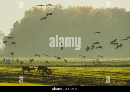 Common crane, Eurasian Crane (Grus grus), together with roe deers at an acre at the resting area Oppenweher Moor, - Stock Photo