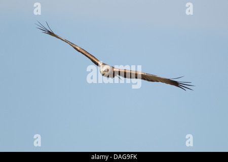 Marsh Harrier - male in flight Circus aeruginosus Guernsey Channel islands, UK BI024636 - Stock Photo