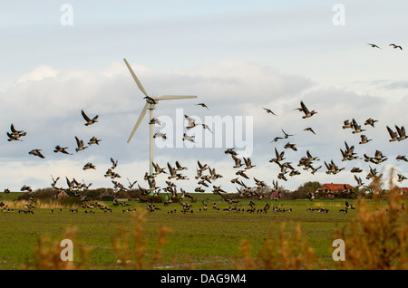 barnacle goose (Branta leucopsis), flock taking off in marsh landscape with a windmill, Germany, Lower Saxony, East - Stock Photo
