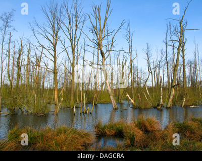 moor pond in Hellmoor after renaturation with dead trees, Germany, Schleswig-Holstein, Panten - Stock Photo