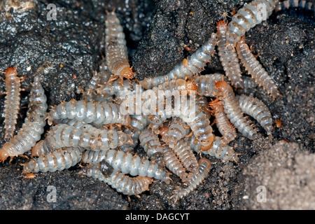 Black burying beetle (Necrophorus humator, Nicrophorus humator), larvae of the Black burying beetle feeding on corpse, - Stock Photo