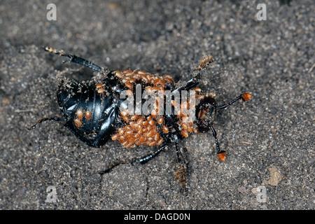 Black burying beetle (Necrophorus humator, Nicrophorus humator), Black burying beetle full of mites, Poecilochirus - Stock Photo