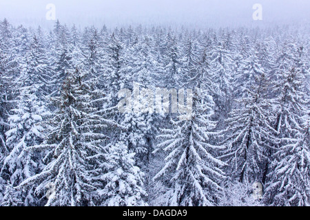 Norway spruce (Picea abies), view over a snow-covered spruce forest, Germany, Bavaria, Bavarian Forest National - Stock Photo