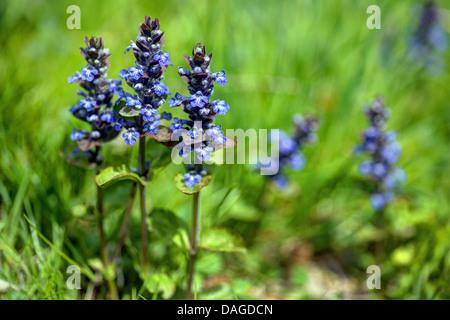 common bugle, creeping bugleweed (Ajuga reptans), blooming, Germany, Bavaria, Oberbayern, Upper Bavaria - Stock Photo