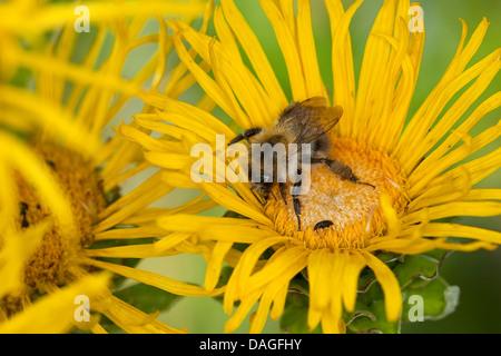 carder bee, common carder bee (Bombus pascuorum, Bombus agrorum), on Inula, Germany - Stock Photo