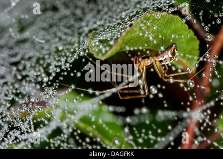 Sheet-web weaver, Line-weaving spider, Line weaver (Linyphia triangularis), in spiderweb with dewdrops, Germany - Stock Photo