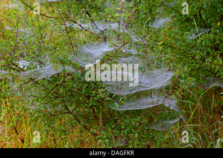 Sheet-web weaver, Line-weaving spider, Line weaver (Linyphia triangularis), spiderwebs with morningdew, Germany - Stock Photo