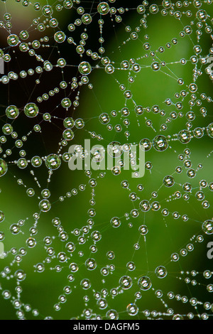 Sheet-web weaver, Line-weaving spider, Line weaver (Linyphia triangularis), spiderweb with morningdew, Germany - Stock Photo