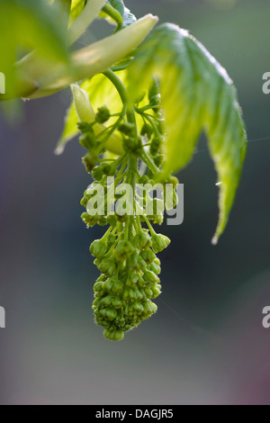 sycamore maple, great maple (Acer pseudoplatanus), inflorescence in bud, Germany