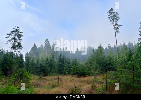 clearing in spruce forestation, Germany, Bavaria, Oberpfalz - Stock Photo