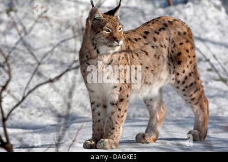 Eurasian lynx (Lynx lynx), standing in the snow, Germany, Bavaria, Bavarian Forest National Park - Stock Photo