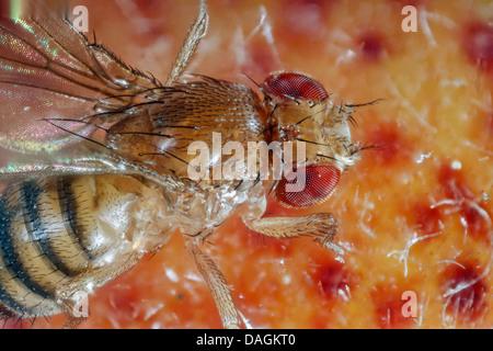 vinegar fly, fruit fly (Drosophila melanogaster), on peach, Germany, Mecklenburg-Western Pomerania Stock Photo