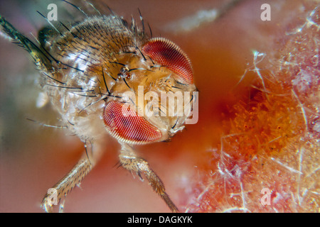 vinegar fly, fruit fly (Drosophila melanogaster), on peach, Germany, Mecklenburg-Western Pomerania Stock Photo
