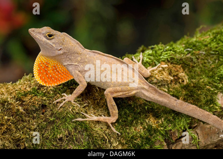 brown anole, Cuban anole (Anolis sagrei), with extended dewlap - Stock Photo