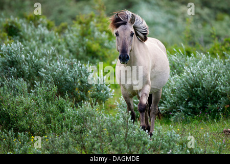 Konik horse (Equus przewalskii f. caballus), walking between shrubs, Belgium - Stock Photo