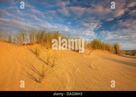 beach grass, European beachgrass, marram grass, psamma, sea sand-reed (Ammophila arenaria), dunes with beach grass in De Westhoek nature Reserve, Belgium