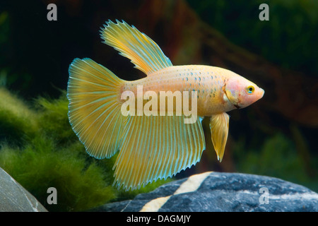 Siamese fighting fish, Siamese fighter (Betta splendens Apricot), Apricot - Stock Photo