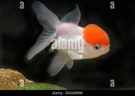 goldfish, common carp (Carassius auratus), lionhead-Rotkaeppchen - Stock Photo