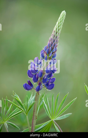 bigleaf lupine, many-leaved lupine, garden lupin (Lupinus polyphyllus), inflorescence, Germany - Stock Photo