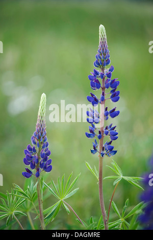 bigleaf lupine, many-leaved lupine, garden lupin (Lupinus polyphyllus), blooming, Germany - Stock Photo
