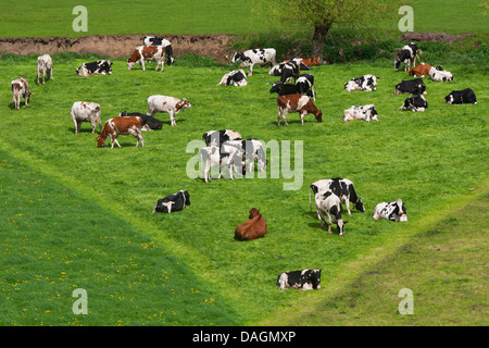domestic cattle (Bos primigenius f. taurus), herd of cows grazing on a pasture, Belgium - Stock Photo