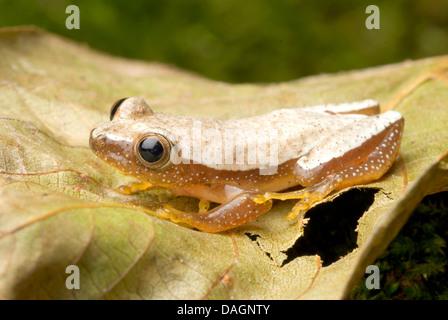 Fornasini's Spiny Reed Frog (Afrixalus fornasini), on a leaf - Stock Photo