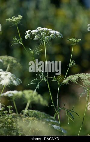 bullwort, toothpick ammi, Bishop's flower (Ammi majus), blooming, Germany