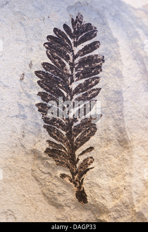 fossilized plant from Fur Formation, palaeocene/eocene, Denmark, Limfjord - Stock Photo