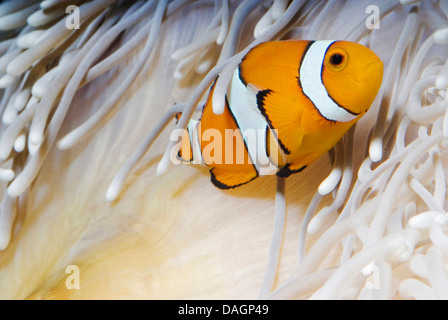false clown anemonefish, clown anemonefish (Amphiprion ocellaris), amongst the tentacles of Heteractis crispa - Stock Photo
