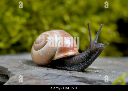 brown-lipped snail, grove snail, grovesnail, English garden snail, larger banded snail, banded wood snail (Cepaea - Stock Photo