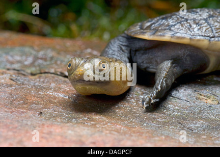 Siebenrock's snake-necked turtle (Chelodina siebenrocki), portrait - Stock Photo