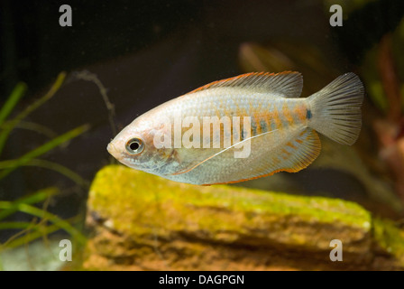 Thicklip Gourami (Colisa labiosa), swimming - Stock Photo