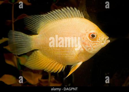 banded cichlid, convict fish, deacon, severum, striped cichlid (Cichlasoma severum, Heros severus ), breed gold - Stock Photo