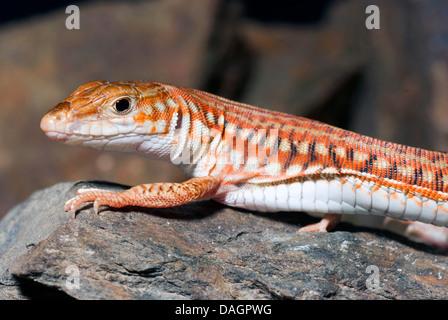Painted Long Tailed Lizard (Latastia longicaudata), on a stone - Stock Photo
