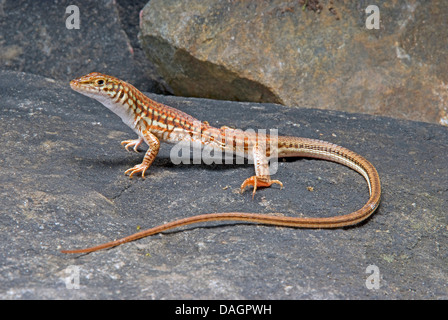Painted Long Tailed Lizard (Latastia longicaudata), standing on a stone - Stock Photo