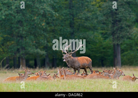 red deer (Cervus elaphus), roaring stag with his group, Germany - Stock Photo