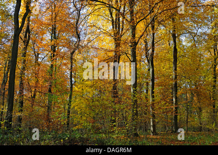 deciduous forest in autumn, Germany - Stock Photo