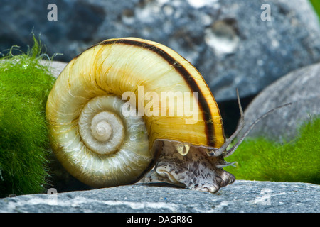 Giant ramshorn snail, Apple snail (Marisa cornuarietis), creeping on a stone - Stock Photo