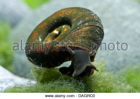 horn-colored ram's horn, great ramshorn (trumpet shell) (Planorbarius corneus), feeding - Stock Photo