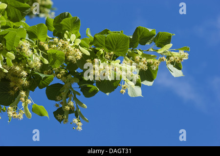 large-leaved lime, lime tree (Tilia platyphyllos), blooming twig, Germany - Stock Photo