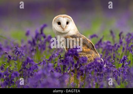 Barn Owl, Tyto alba sitting in bluebells - Stock Photo