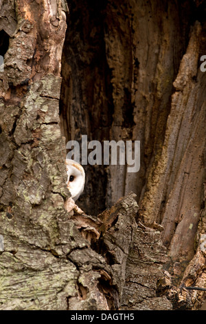Barn Owl, Tyto alba sitting in a hollow tree - Stock Photo