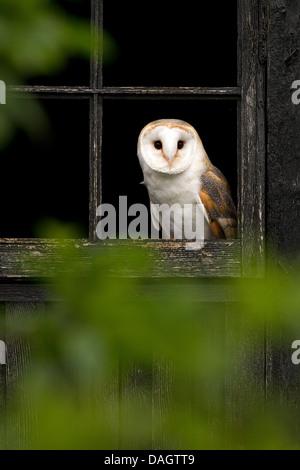 Barn Owl, Tyto alba sitting in a window - Stock Photo