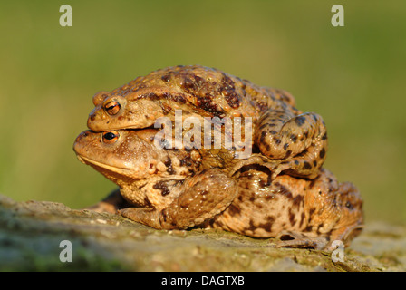 European common toad (Bufo bufo), female carrying a male piggyback, Germany - Stock Photo