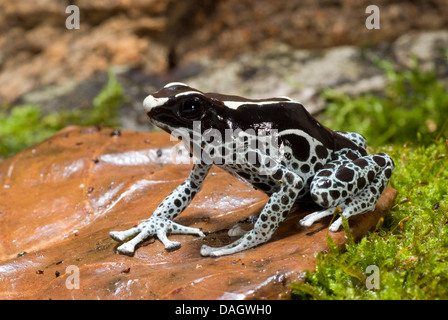 dyeing poison-arrow frog, Dyeing poison frog (Dendrobates tinctorius), black-spotted grey morph sitting on a leaf - Stock Photo