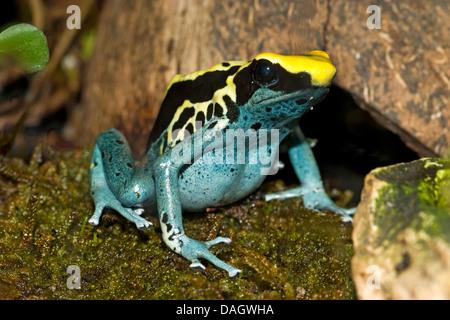 dyeing poison-arrow frog, Dyeing poison frog, dyeing dart frog, poison dart frog (Dendrobates tinctorius), morphe - Stock Photo