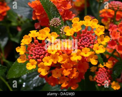 lantana (Lantana camara), blooming - Stock Photo
